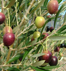 Mission-olives-ripening-in-the-sun.jpg